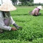 Thị trường - Tiêu dùng - Rau má - cây trồng mang thu nhập tốt cho người miền Trung