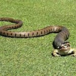 Tin tức trong ngày - Ảnh: Ếch thoát chết thần kỳ khỏi miệng rắn