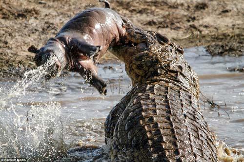 Ảnh: Cá sấu khổng lồ vờn hà mã con suốt 25 phút - 1