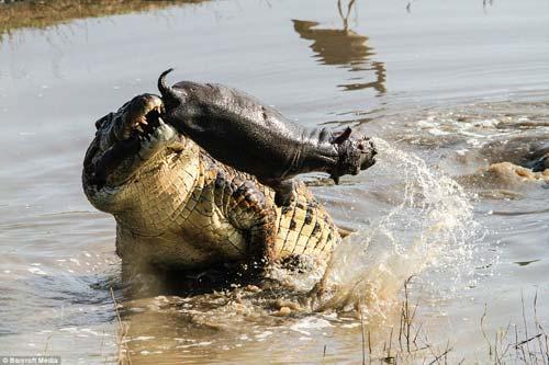Ảnh: Cá sấu khổng lồ vờn hà mã con suốt 25 phút - 2