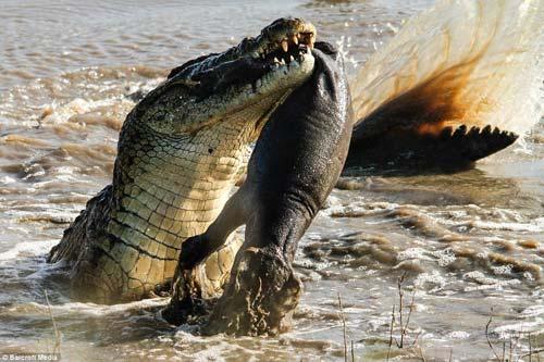 Ảnh: Cá sấu khổng lồ vờn hà mã con suốt 25 phút - 3