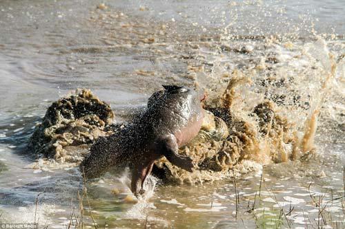 Ảnh: Cá sấu khổng lồ vờn hà mã con suốt 25 phút - 4