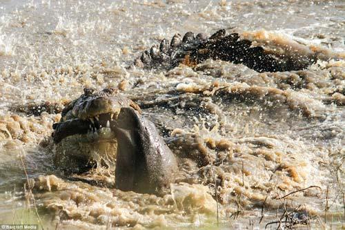 Ảnh: Cá sấu khổng lồ vờn hà mã con suốt 25 phút - 5