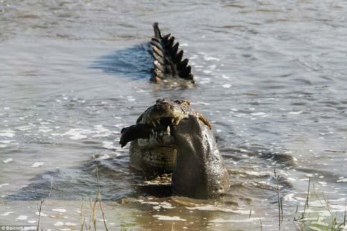 Ảnh: Cá sấu khổng lồ vờn hà mã con suốt 25 phút - 6