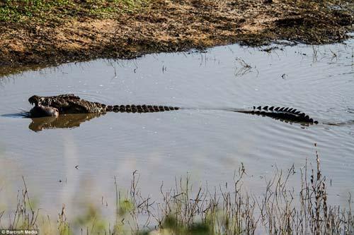 Ảnh: Cá sấu khổng lồ vờn hà mã con suốt 25 phút - 7