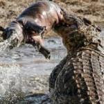 Tin tức trong ngày - Ảnh: Cá sấu khổng lồ vờn hà mã con suốt 25 phút