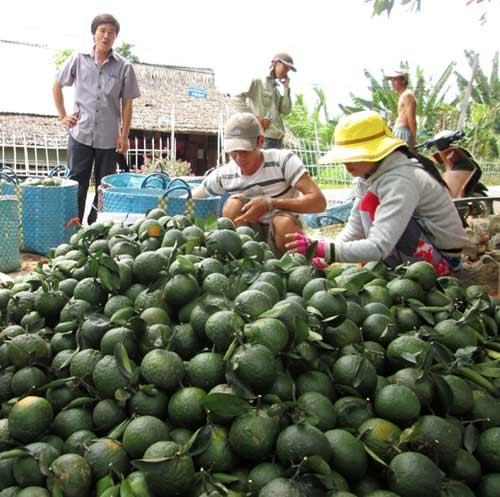 Sau thu nhập tiền tỷ, nông dân phải đốn bỏ cam sành - 6