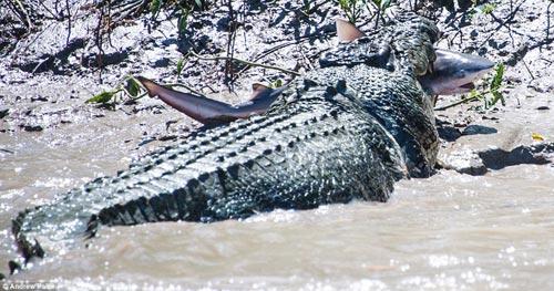 Cá sấu khổng lồ tử chiến để trả thù cá mập - 1