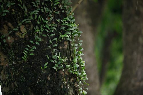 Người HN ngỡ ngàng vì hàng cây cổ thụ sắp bị chặt hạ - 4