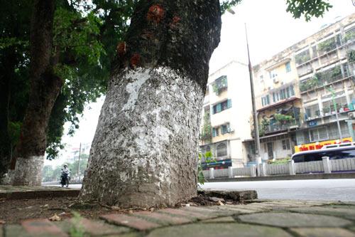 Người HN ngỡ ngàng vì hàng cây cổ thụ sắp bị chặt hạ - 3