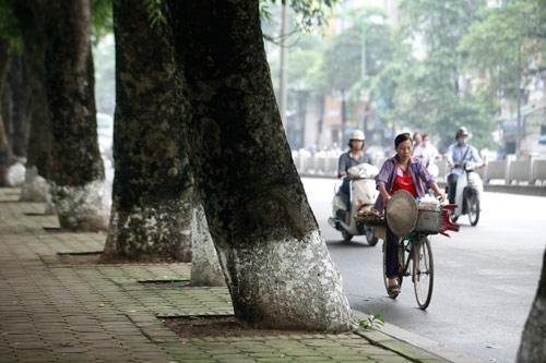 Người HN ngỡ ngàng vì hàng cây cổ thụ sắp bị chặt hạ - 2