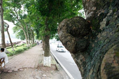 Người HN ngỡ ngàng vì hàng cây cổ thụ sắp bị chặt hạ - 5