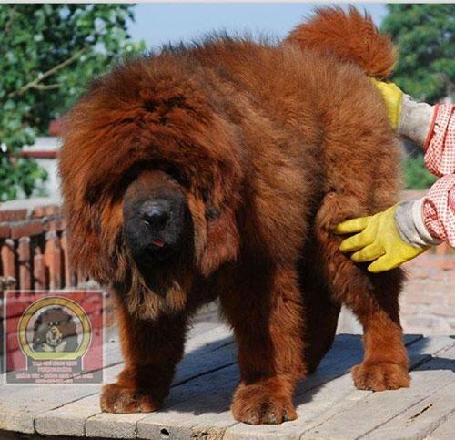 8X Việt nuôi chó đắt nhất hành tinh thành đại gia - 5