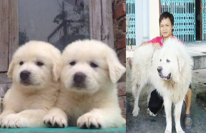 8X Việt nuôi chó đắt nhất hành tinh thành đại gia - 6