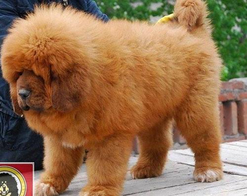 8X Việt nuôi chó đắt nhất hành tinh thành đại gia - 7