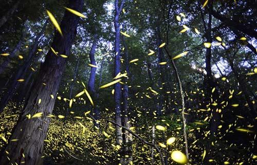 Lạc giữa khu rừng đom đóm tuyệt đẹp ở Mỹ - 1