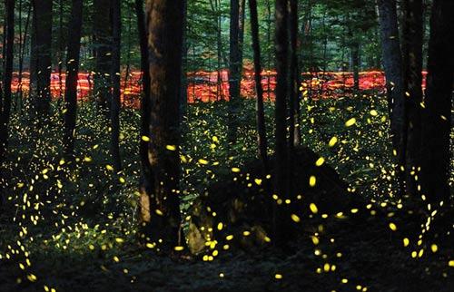 Lạc giữa khu rừng đom đóm tuyệt đẹp ở Mỹ - 3