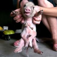 Video: Chú lợn có 8 chân khác thường