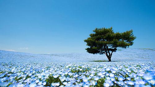 Ghé thăm vườn hoa màu xanh ở Nhật Bản - 1