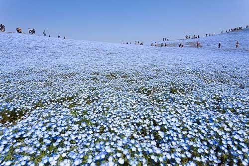 Ghé thăm vườn hoa màu xanh ở Nhật Bản - 3