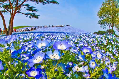 Ghé thăm vườn hoa màu xanh ở Nhật Bản - 5