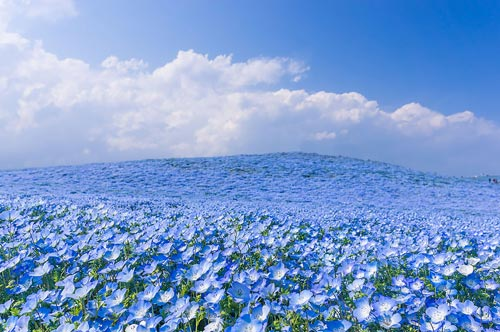 Ghé thăm vườn hoa màu xanh ở Nhật Bản - 4