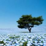 Du lịch - Ghé thăm vườn hoa màu xanh ở Nhật Bản