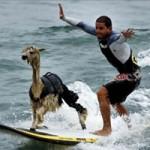 Phi thường - kỳ quặc - Khi động vật cũng lướt sóng siêu đẳng