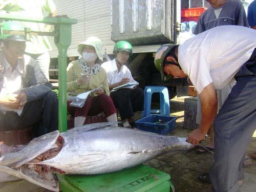 Cám cảnh cá ngừ Phú Yên - 1