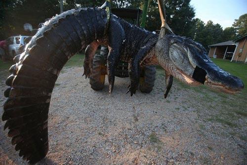 Bắt được cá sấu khổng lồ nặng gần nửa tấn tại Mỹ - 1