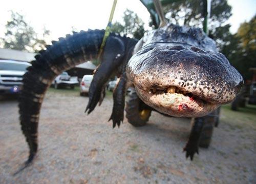 Bắt được cá sấu khổng lồ nặng gần nửa tấn tại Mỹ - 3