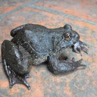 """Săn """"ếch đại gia"""" ở vùng Thánh địa Mẫu Sơn"""