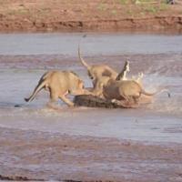 Tranh giành một chú voi, sư tử chiến đấu với cá sấu | videohai
