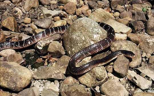 Người cắn chết rắn cạp nong cực độc - 1