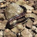 Phi thường - kỳ quặc - Người cắn chết rắn cạp nong cực độc