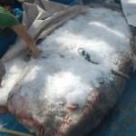 Tin tức trong ngày - Nghệ An: Cá mặt trăng quý hiếm mắc lưới ngư dân