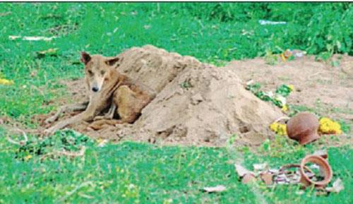 Ấn Độ: Chú chó nhịn ăn, canh mộ chủ suốt 2 tuần - 1