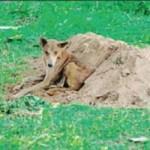 Tin tức trong ngày - Ấn Độ: Chú chó nhịn ăn, canh mộ chủ suốt 2 tuần