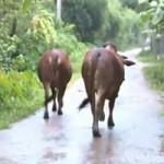 Tin tức trong ngày - Hà Tĩnh: Dắt bò ra đường cũng phải nộp tiền