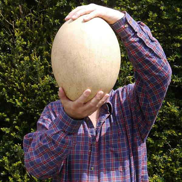 Quả trứng chim voi 500 tuổi giá hơn 80.000 USD - 1