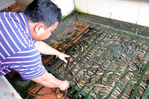 Kiếm 300 triệu/tháng nhờ nuôi lươn không bùn ở Sài Gòn - 1