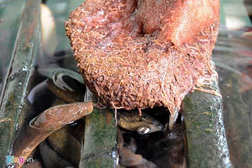 Kiếm 300 triệu/tháng nhờ nuôi lươn không bùn ở Sài Gòn - 13
