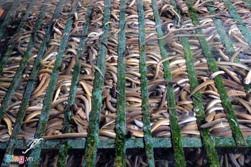 Kiếm 300 triệu/tháng nhờ nuôi lươn không bùn ở Sài Gòn - 6