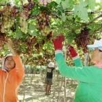 Thị trường - Tiêu dùng - Trái cây đặc sản vẫn bấp bênh