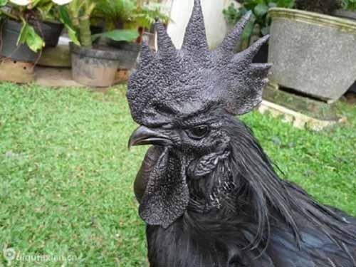 """Giống gà đen quý hiếm giá """"khủng"""" nhất thế giới - 3"""
