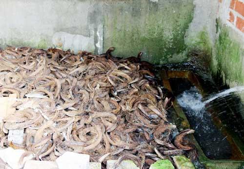 Lò nuôi rắn doanh thu hơn 1 tỷ đồng/năm ở miền Tây - 10