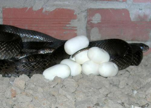 Lò nuôi rắn doanh thu hơn 1 tỷ đồng/năm ở miền Tây - 6