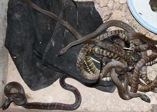 Lò nuôi rắn doanh thu hơn 1 tỷ đồng/năm ở miền Tây - 8