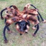 """Phi thường - kỳ quặc - Video chú """"chó nhện"""" hút hơn 60 triệu lượt xem"""
