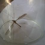 Tin tức trong ngày - Phát hiện muỗi to như chuồn chuồn kim ở Quảng Bình